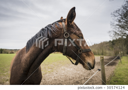 Brown horse with closed eyes 30574124