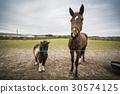 animal, horse, fence 30574125