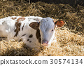 Calf lying in the hay in the sunshine 30574134