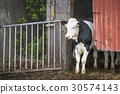 Cow looking out of a stable 30574143
