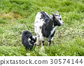 Goat mother with her young black kid 30574144
