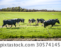 Cattle on grass for the first time in the spring 30574145