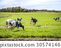 Wild cows enjoy their first time on green grass 30574146