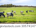 Cows run into the green field for the first time 30574147