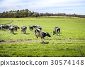 Cows run out on a green meadow 30574148