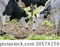 Black and white cow head to head 30574150
