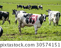 Black and white cow with the danish ecology stamp 30574151