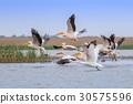 white pelicans (pelecanus onocrotalus) 30575596