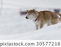 雪和Shiba Inu 30577216