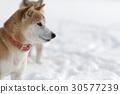 雪和Shiba Inu 30577239