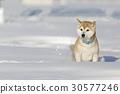 狗 狗狗 柴犬 30577246