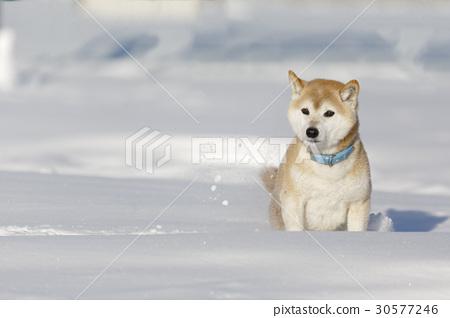 雪和Shiba Inu 30577246