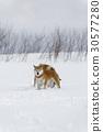 雪和Shiba Inu 30577280