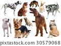 dog breed isolated 30579068