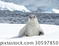 Crabeater seal on the ice. 30597850