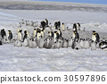 Emperor Penguins with chicks 30597896