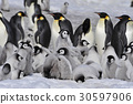 Emperor Penguins with chicks 30597906