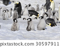 Emperor Penguins with chicks 30597911