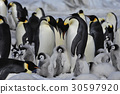 Emperor Penguins with chicks 30597920