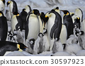 Emperor Penguins with chicks 30597923