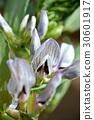 누에콩 (잠두)의 꽃 30601917