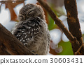 The spotted owlet,Athene brama,Bird 30603431