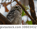The spotted owlet,Athene brama,Bird 30603432