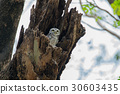 The spotted owlet,Athene brama,Bird 30603435