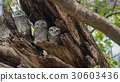 The spotted owlet,Athene brama,Bird 30603436