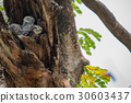 The spotted owlet,Athene brama,Bird 30603437