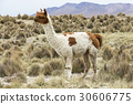 lamas in Andes,Mountains, Peru 30606775