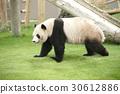 팬더 보행 중 30612886