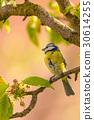 Single colorful blue tit bird on cherry branch 30614255