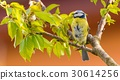 Single colorful blue tit bird on cherry tree 30614256