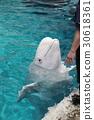 beluga, the beluga whale, white whale 30618361