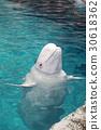 beluga, the beluga whale, white whale 30618362