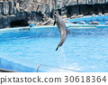 dolphin, dolphins, jumping 30618364