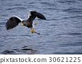 stellar's, sea, eagle 30621225
