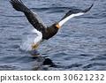 stellar's, sea, eagle 30621232