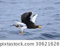 kamchatkan, sea, eagle 30621626