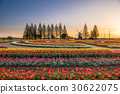 akebono mountain farm park, tulip field, wind mill 30622075