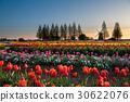 akebono mountain farm park, tulip field, wind mill 30622076