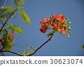 꽃, 피닉스 꽃, 졸업식, 6 월, 여름, 캐럴 30623074