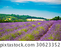 Scenic View of Blooming Bright Purple Lavender 30623352