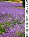 Blurred background of Blooming Purple Lavender 30623359