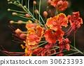 식물, 꽃, 봉황 꽃, 졸업식 30623393