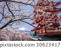 mt. arayama sengen park, yoshino cherry tree, cherry blossom 30623417