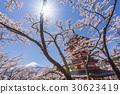 mt. arayama sengen park, yoshino cherry tree, cherry blossom 30623419