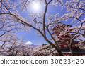 mt. arayama sengen park, yoshino cherry tree, cherry blossom 30623420