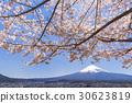 mt. arayama sengen park, yoshino cherry tree, cherry blossom 30623819
